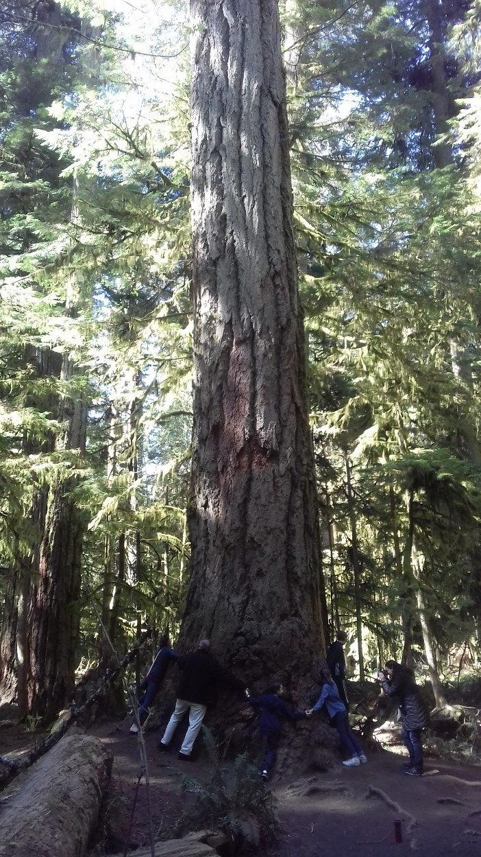 Giant red cedar in the Cathedral Grove
